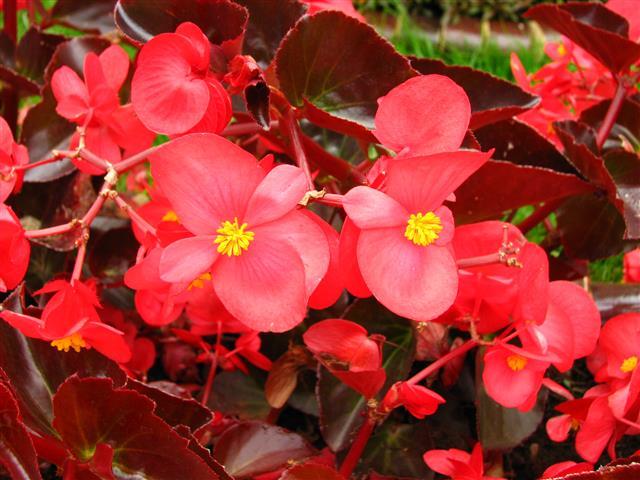 Begonia_semperflorens_(vermelha)