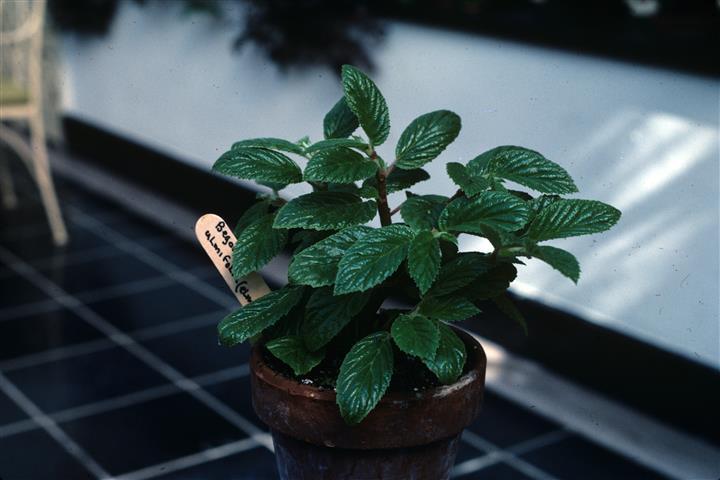 Begonia_ulmifolia - C