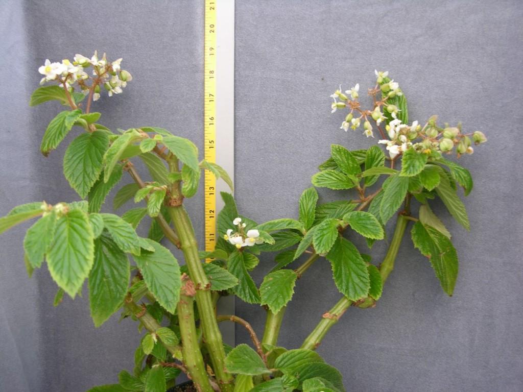 Begonia ulmifolia