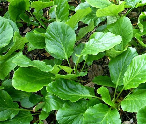Bergenia crassiflora L.