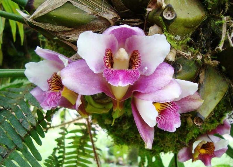 Bifrenaria Harrissoniae
