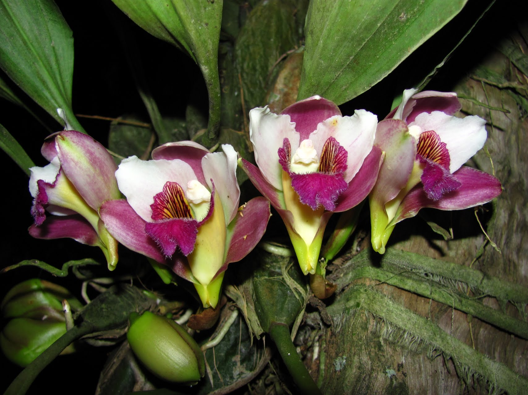 Bifrenaria harrisoniae)
