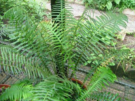 Blechnum attenuatum v giganteum