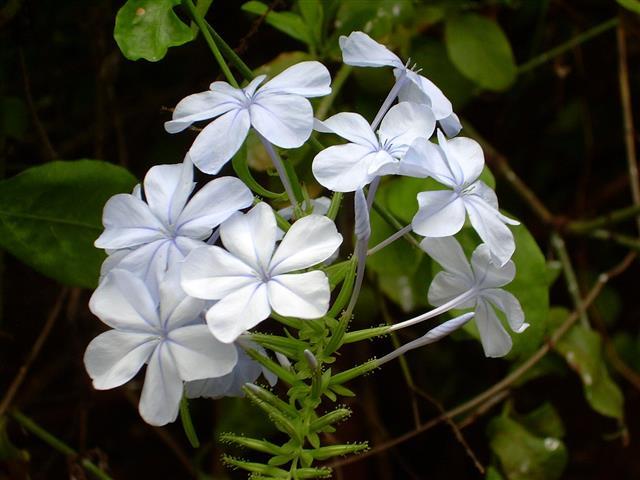 Blue_flowers01