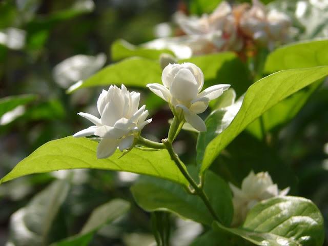 Bogari (Jasminum sambac)