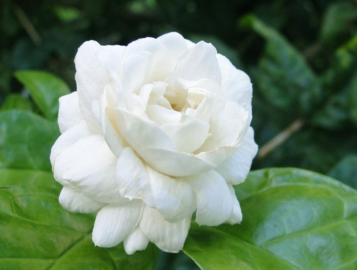 Bogari (Arabian Jasmine)