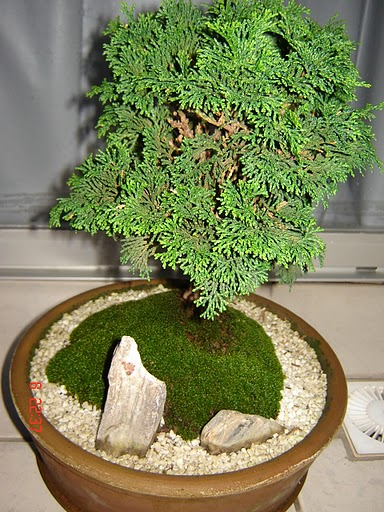 Bonsai_cedro nana