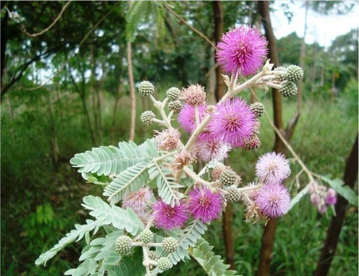 Bracatinga-rósea (Mimosa flocculosa)