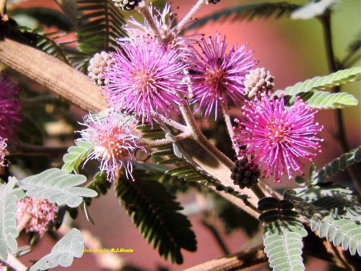Bracatinga-rósea