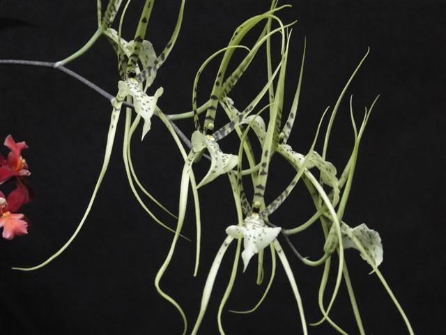Brassia longissima