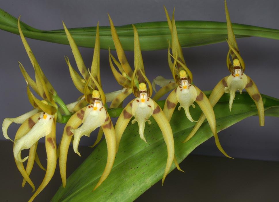 Brassia-peruviana