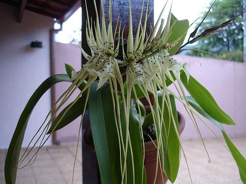 Brassia-verrucosa