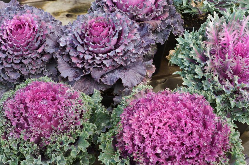 -Brassica-oleracea