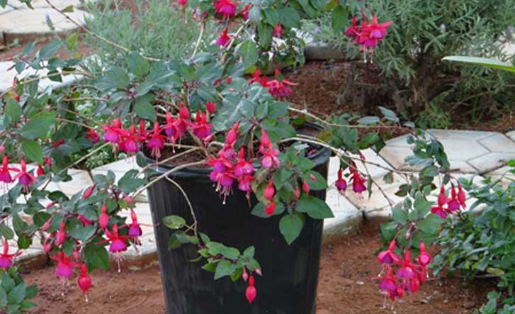 Brinco-de-princesa - (Fuchsia sp)