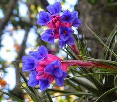 Bromélia Tillandsia