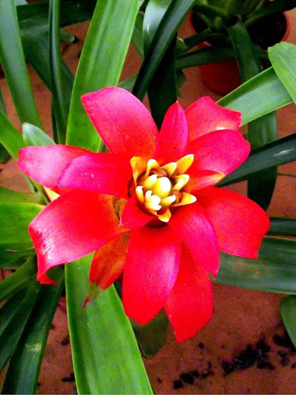 Bromelia Neoregelia Vermelha