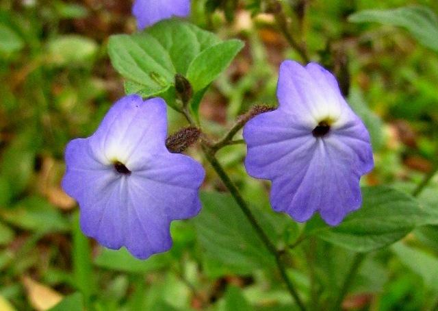 Browallia americana1