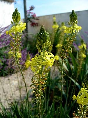 Bulbine-amarela (Bulbine frutescens)