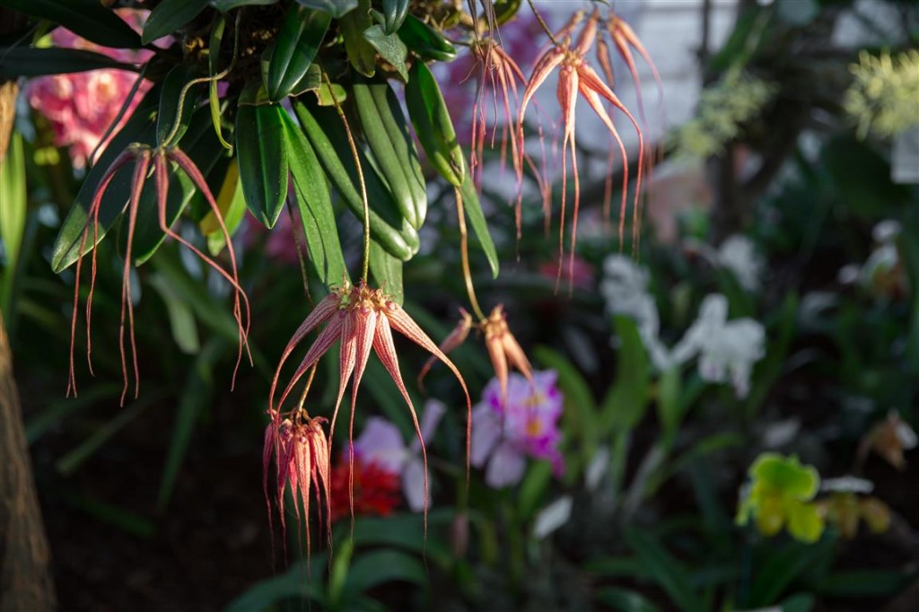 Bulbophyllum Elizabeth Ann Buckleberry