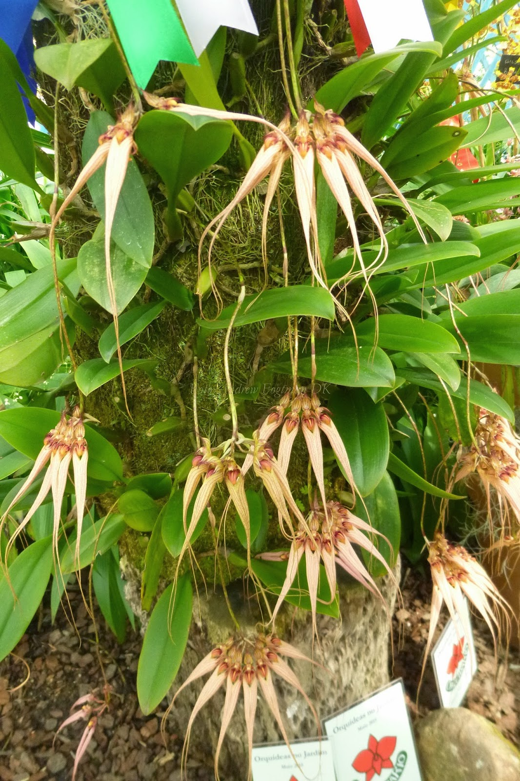Bulbophyllum Louis Sander_1