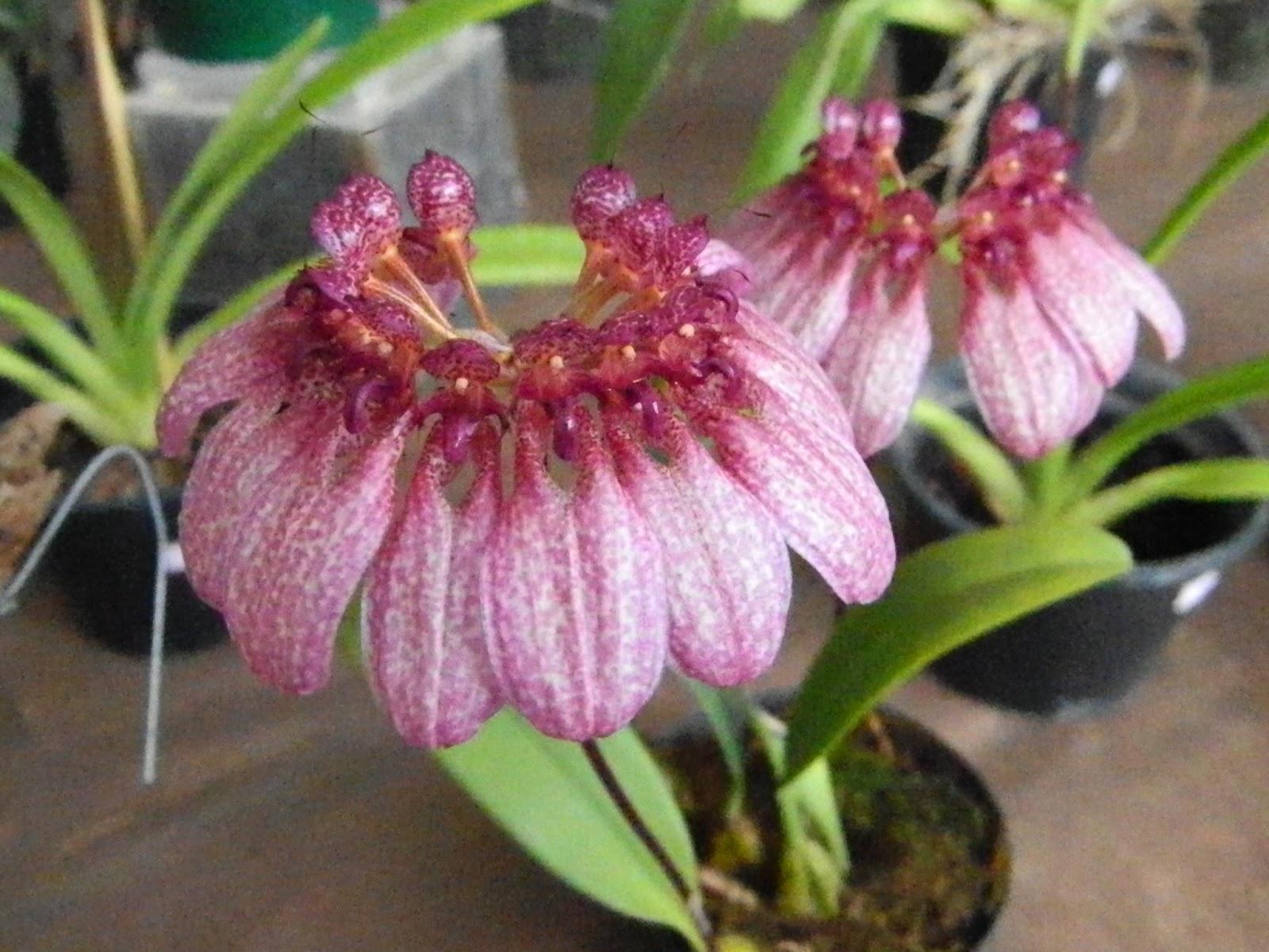 Bulbophyllum eberhardtii