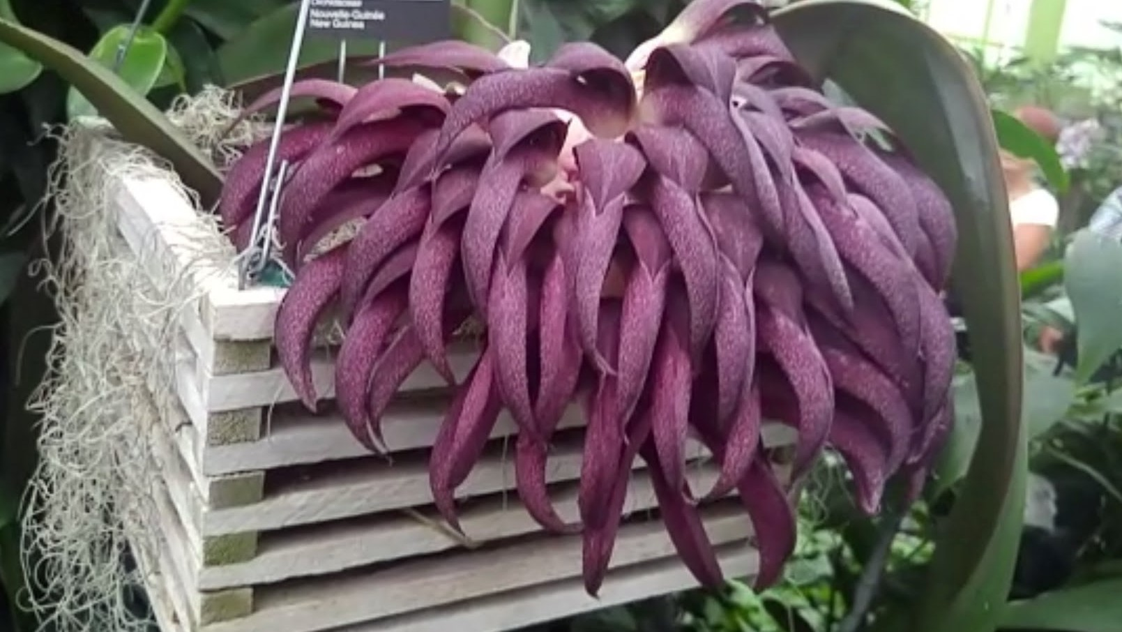 Bulbophyllum fletcherianum