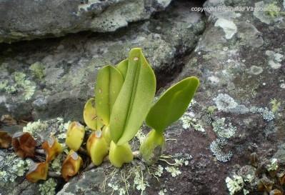 Bulbophyllum_involutum