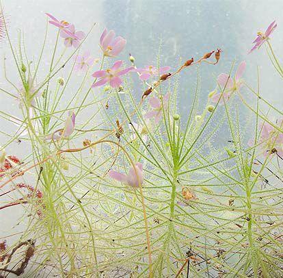 Byblis_linifolia