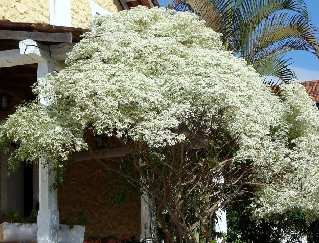 Cabeleira-de-velho (Euphorbia Leucocephala)