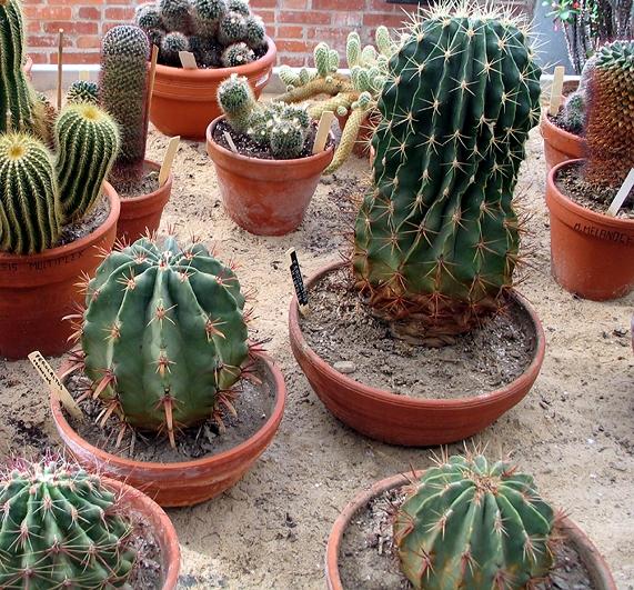Cactaceae_serre_massey