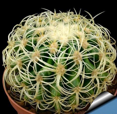 Cacto Echinocactus grusonii (Small)