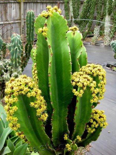 Cacto-candelabro (Euphorbia Ingens)