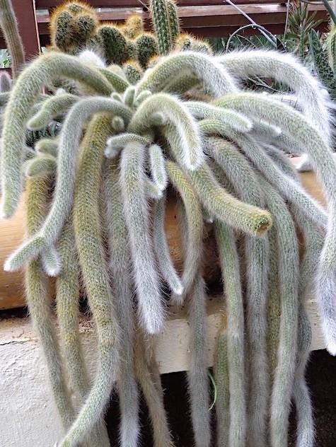 Cacto-rabo-de-macaco-Hildewintera-colademononis-1-3