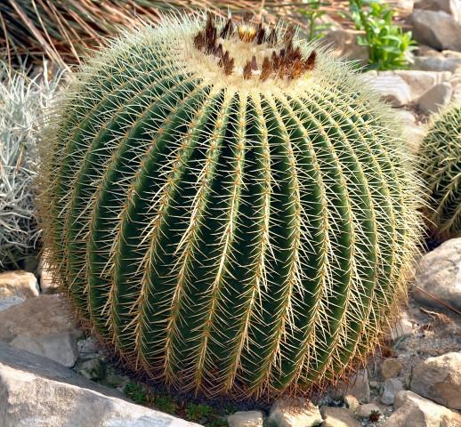 Cadeira-de-sogra - Echinocactus grusonii