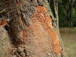 Caesalpinia echinata1