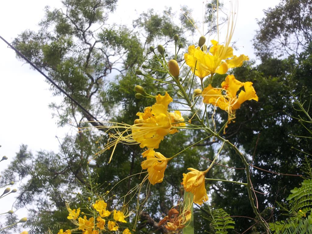 Caesalpinia pulcherrima v. flava