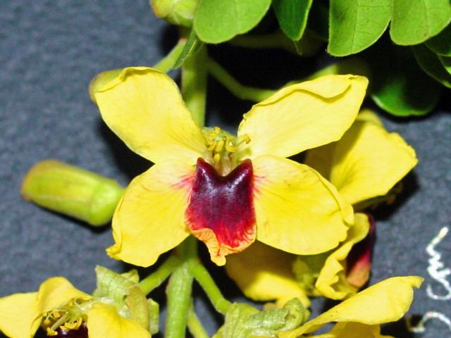 Caesalpinia_echinata-flor