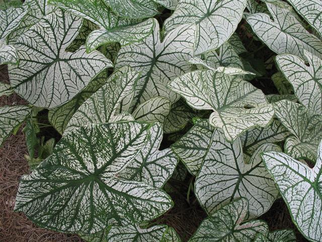 Caladium bicolor 'Candidum'