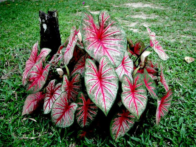 Caladium bicolor Schott