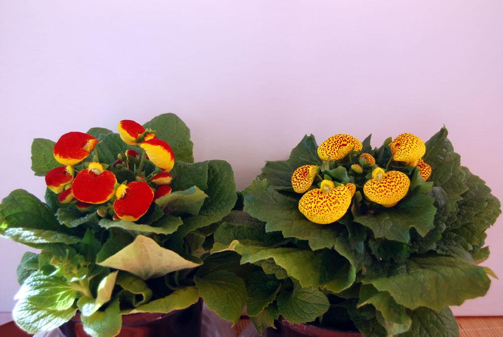 Calceolaria-herbeohybrida