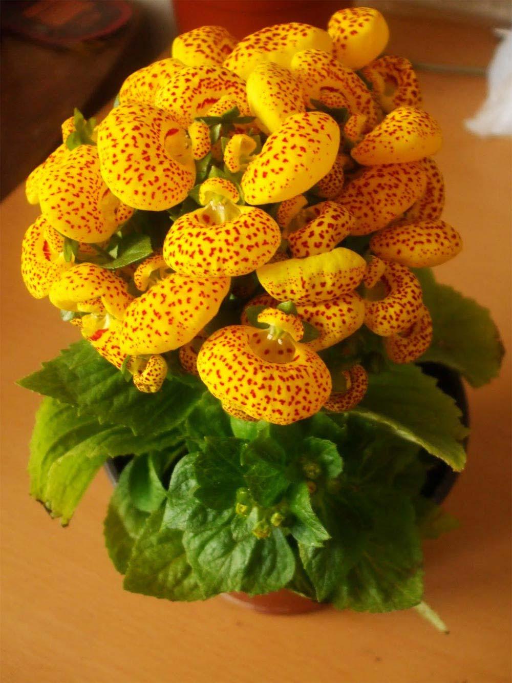 Calceolaria x herbeohybrida amarela