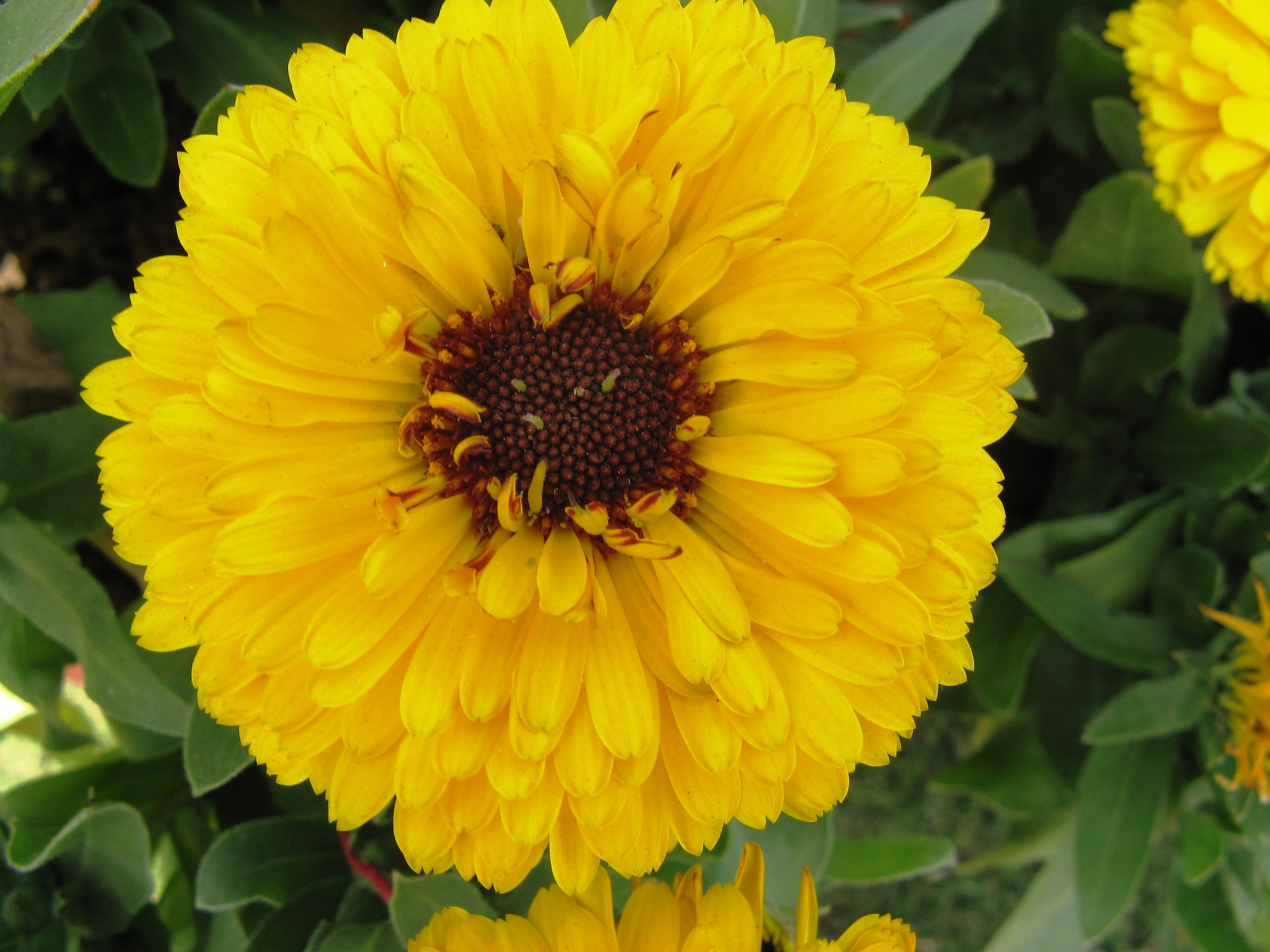Calendula_officinalis-1