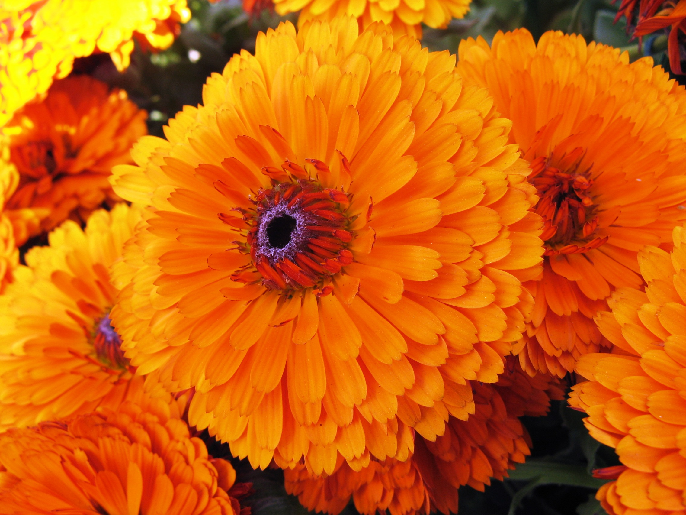 Calendula_officinalis-2
