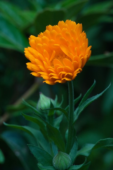 Calendula_officinalis_3