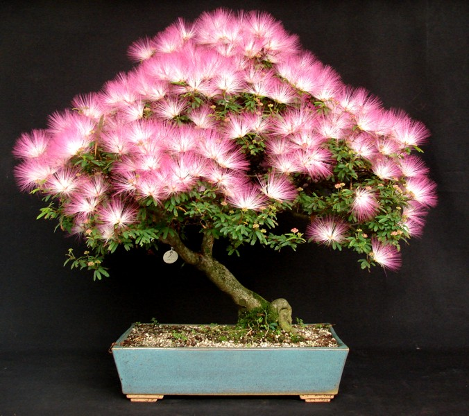 Caliandra - bonsai