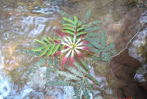 Calliandra foliolosa