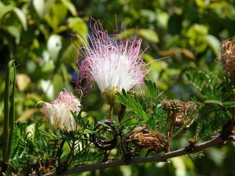 Calliandra harrisii (Lindl.) Beth.