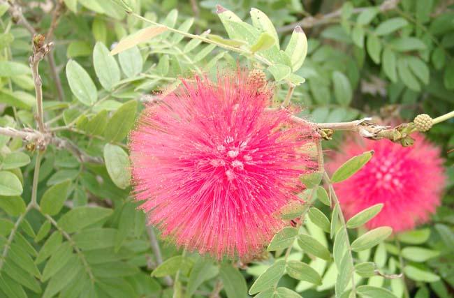 Calliandra-inaequilatera-Rusby.