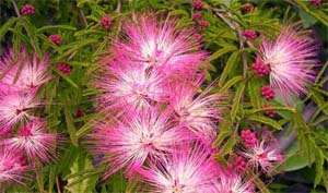 Calliandra_selloi
