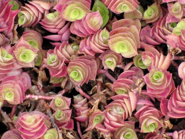 Callisia repens variedade vermelha